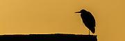 Panorama av Hegre i silhuett mot kveldssol | Panoramic Gray Heron silhouette.