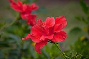 Red Hibicus, Tropical Gardens of Maui, Iao Valley, Maui, Hawaii