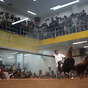 THE PHILIPPINES (Manila). 2009. Two game cocks, each with three inch razor sharp blades fastened to their left ankles, about to fight to the death at the Makati Coliseum,  Makati City, Manila. Photo Tim Clayton <br /> <br /> Cockfighting, or Sabong as it is know in the Philippines is big business, a multi billion dollar industry, overshadowing Basketball as the number one sport in the country. It is estimated over 5 million Roosters will fight in the smalltime pits and full-blown arenas in a calendar year. TV stations are devoted to the sport where fights can be seen every night of the week while The Philippine economy benefits by more than $1 billion a year from breeding farms employment, selling feed and drugs and of course betting on the fights...As one of the worlds oldest spectator sports dating back 6000 years in Persia (now Iran) and first mentioned in fourth century Greek Texts. It is still practiced in many countries today, particularly in south and Central America and parts of Asia. Cockfighting is now illegal in the USA after Louisiana becoming the final state to outlaw cockfighting in August this year. This has led to an influx of American breeders into the Philippines with these breeders supplying most of the best fighting cocks, with prices for quality blood lines selling from PHP 8000 pesos (US $160) to as high as PHP 120,000 Pesos (US $2400)..