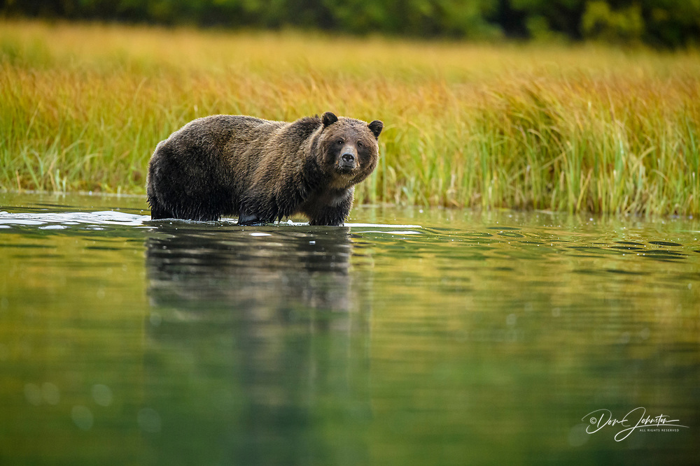 Grizzly bear (Ursus arctos)- Hunting sockeye salmon spawning in the Chilko River, Chilcotin Wilderness, BC Interior, Canada