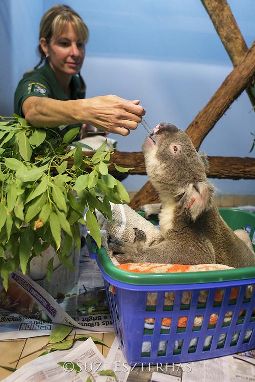 Koala <br /> Phascolarctos cinereus<br /> April Ferguson, volunteer, feeding male sick with knee infection<br /> Koala Hospital, Port Macquerie, Australia<br /> *Captive<br /> *Model release available