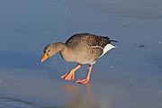 Greylag Goose (Anser anser) walking on ice, Slimbridge, UK.