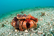 A Starry-Eyed Hermit Crab, Dardanus venosus, crawls over the bottom of the Lake Worth Lagoon in Singer Island, Palm Beach County, Florida, United States.
