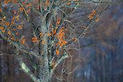 Japanese beech tree,  Tsurui, Hokkaido, Japan