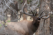 Bugling bull elk during the autumn rut in Wyoming in heavy timber