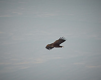 Golden Eagle soaring over Havøsund from the deck of the Hurtigruten MS Kong Harald. Image taken with a Nikon D2xs camera and 80-400 mm VR lens (ISO 200, 400 mm, f/5.6, 1/90 sec).