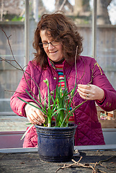 Supporting pot grown paperwhite narcissus with twigs
