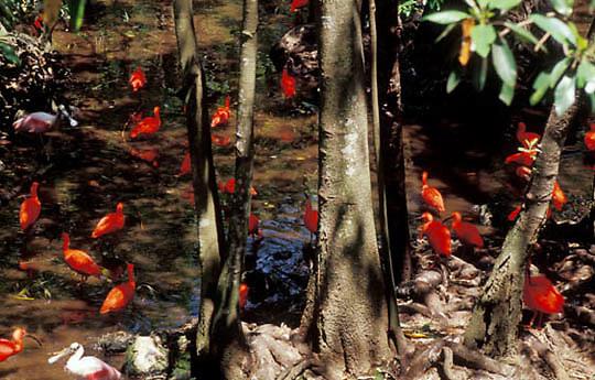 Scarlet Ibis, (Eudocimus ruber) Florida.