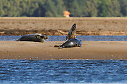 Bull grey seal showing aggressive behaviour towards other individuals while on a sandbank at low tide.