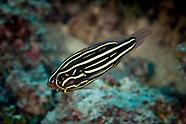 Grammistes sexlineatus (Sixline soapfish)