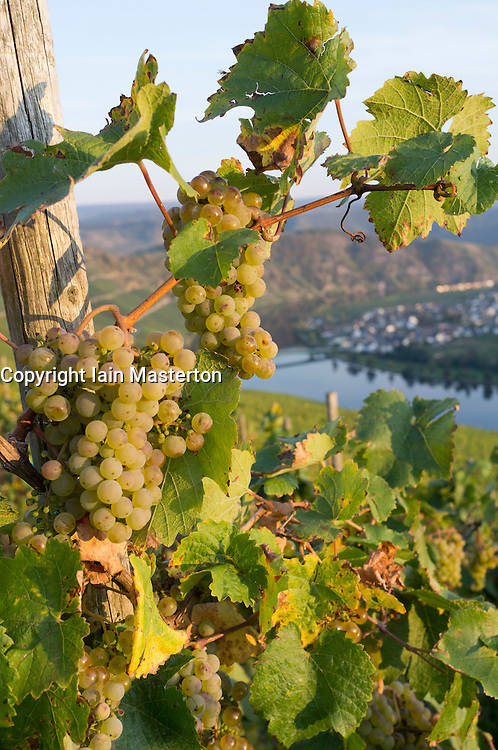 View of Piesport village and riesling grapes from vineyards  in Mosel Valley in Germany