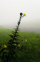Wild flowers greet the day on a foggy late summer morning along side of a rural road in southern New Jersey.