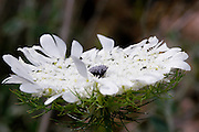 Israel, Artedia squamata Crown Flower