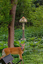 The white-tailed doe telling us exactly how she feels about us watching her eat.