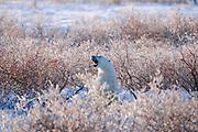 Polar Bear (Ursa maritimus) in shrubs with hoarfrost on sub-arctic Hudson Bay <br />Churchill<br />Manitoba<br />Canada