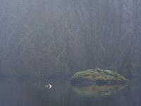 Toppdykker, Podiceps cristatus, i vannkanten på Mosvatnet, Stavanger.