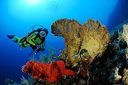 Red fire sponge, Latrunculia magnifica, and net fire coral, Millepora dichotoma, and scuba diver, South Egypt, Red Sea, MR, PR
