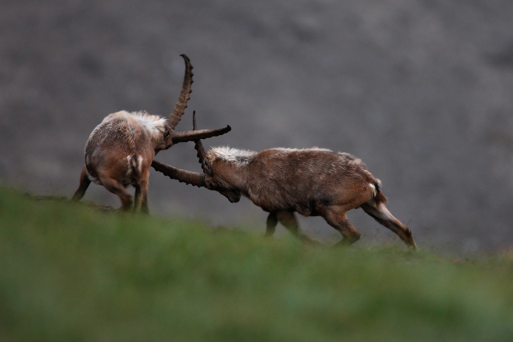 Alpine Ibex (Capra Ibex) fighting over a glacial, Hohe Tauern National Park, Carinthia, Austria