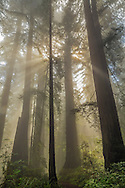 Sunlight through Redwood forest and fog, Redwood National and State Parks, Del Norte County, California