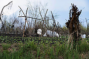 A head of mannequin is kept as a scarecrow to protect the vegetable garden from<br /> crows. © Sandipa Malakar
