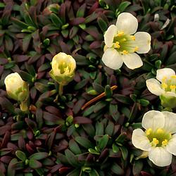 White Mountain N.F., NH.  Wildflowers, Diapensia, Diapensia, on the summit of Mt. Jackson.  ..