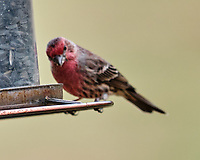 House Finch (Haemorhous mexicanus). Image taken with a Fuji X-T3 camera and 200 mm f/2 lens + 1.4x teleconverter.