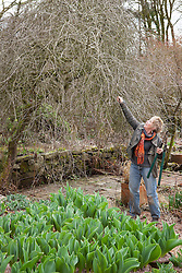 Carol Klein pruning old wood out of Pyrus salicifolia 'Pendula' - weeping pear. Emerging tulips shoots in the foreground