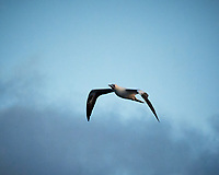 Masked Booby in flight just after sunrise. Image taken with a Nikon N1V3 camera and 70-300 mm VR lens (ISO 560, 116 mm, f/5.6 1/1000 sec).