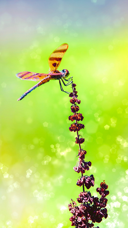 The Calico Pennant or Elisa Pennant (Celithemis elisa) is a dragonfly found in North America, in the Pennant genus of dragonflies. With Distinctive wing pattern; dark subterminal wing marking small and restricted to leading edge of wing.<br /> Male has pink wing veins and red heart-shaped abdominal spots; female has yellow wing veins and bright yellow abdominal spots.