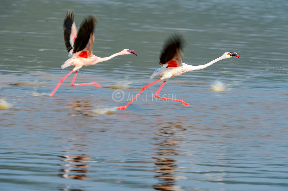 Lesser flamingos (Phoenicopterus minor) taking off from Lake Bogoria, Kenya