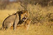 A male and female lion mating (Panthera leo), Savuti, Botswana