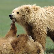 Alaskan Brown Bear (Ursus middendorffi) cub scratching the other's chin. Alaskan Peninsula