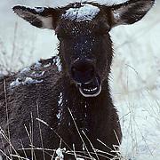 Elk, (Cervus elaphus) Portrait of cow chewing cud. Winter.