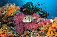 A Map Pufferfish amongst colorful Soft Corals<br /> <br /> Shot in Indonesia