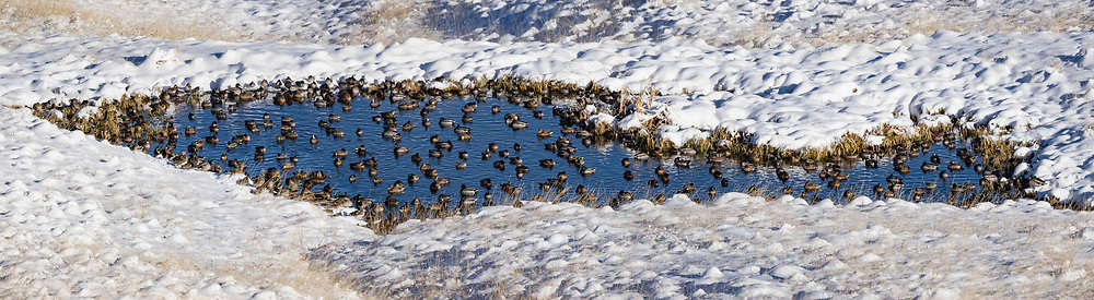 Migrating ducks occassionally stop over on a warm springs pond in the southeastern part of the Valle Grande, Valles Caldera National Preserve, New Mexico,, © David A. Ponton