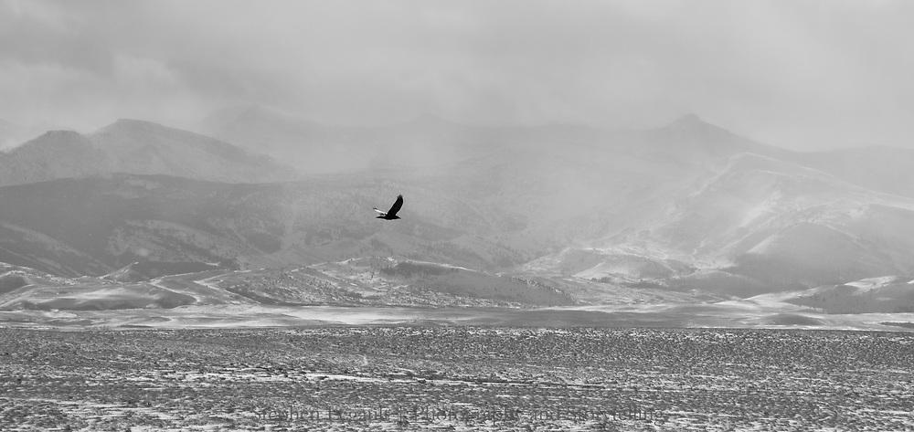 Raven, Badger Two Medicine, Montana