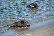 California sea otter or southern sea otter, Enhydra lutris nereis ( threatened species ), comes ashore to bask on the beach at Elkhorn Slough, Moss Landing, California, United States ( Eastern Pacific ); this is the only location where Pacific sea otters are known to come ashore regularly