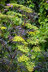 Sambucus nigra (Dark leaved elder) with fennel. Foeniculum vulgare