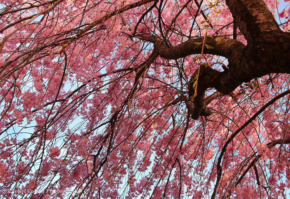 """""""Within the Cascade""""<br /> <br /> Cascading pink blossoms!!<br /> <br /> Flowers by Rachel Cohen"""