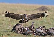 Rüppell's Griffon Vulture (Gyps rueppellii) landing on a carcas in Maasai Mara, Kenya.