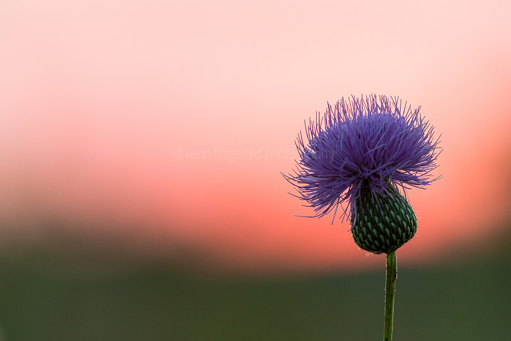 Purple thistle and assorted wildflowers at sunset, Blackland Prairie, High Point Park and Wildflower Preserve, Farmersville, Texas, USA.