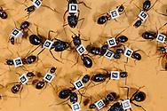 CHE, Schweiz: Rossameise oder Riesenameise (Camponotus fellah), mit Barcodes auf dem Ruecken, um zu erforschen, wie sie sich innerhalb der Kolonie organisieren, welchen Tagesrythmus sie haben und wie sie sich synchronisieren, Universitaet Lausanne, Kanton Waadt | CHE, Switzerland: Carpenter ant (Camponotus fellah), with barcodes on back, for researching the organisation intra-colony, the diurnal rhythm and how they synchronizing themselves, University of Lausanne, Canton of Vaud |