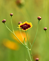 Plains Coreopsis. Image taken with a Leica SL2 camera and 90-280 mm lens