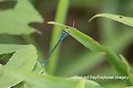 06101-00113 Azure Bluet (Enallagma aspersum) male in wetland Marion Co. IL
