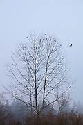 American crows (Corvus brachyrhynchos) rest in a bare winter tree surrounded by fog along North Creek in Bothell, Washington.