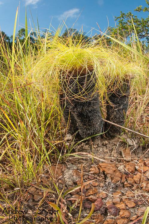 A common savanna plant (Bulbostylis paradoxa).