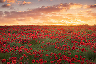 The dawn breaks over a field of poppies at St Roche's Hill near Goodwood, West Sussex.<br /> Picture date Saturday 26th June, 2021.<br /> Picture by Christopher Ison. Contact +447544 044177 chris@christopherison.com
