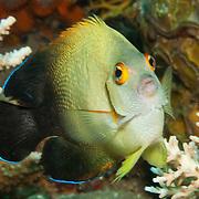 Pearl Scaled Angelfish inhabit reefs. Picture taken Halmahera Islands, Indonesia.