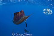 Atlantic sailfish, Istiophorus albicans, attacking bait ball of Spanish sardines (aka gilt sardine, pilchard, or round sardinella ), Sardinella aurita, off Yucatan Peninsula, Mexico ( Caribbean Sea ) #1 in sequence of 3 images (de)