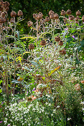 Cynara cardunculus Scolymus Group  - cardoon - with Gaura lindheimeri Papillon syn. 'Nugaupapil'